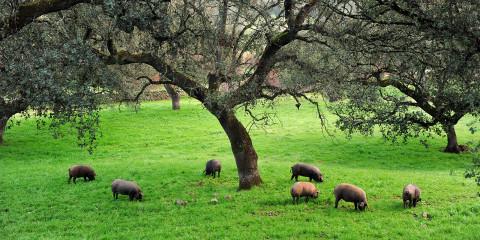 Ibérico Schweinebäckchen