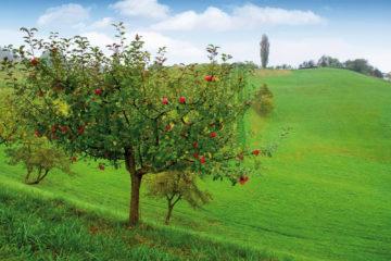 Apfelbaum-Leasing